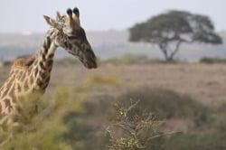 Oferta Viaje Hotel Viaje Esencias de Kenia